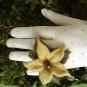 Filzblütenring 2
