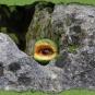 Moosäugling auf Fels