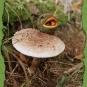 Stacheläugling auf Pilz
