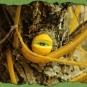 Weiden-Äugling 2