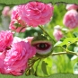 Rosenäugling
