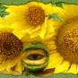 Sonnenblumenäugling
