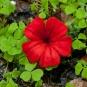 Rote Blüte im Klee