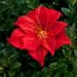 Rote Blüte mit Glasstempel