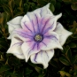 Violettweiße Blüte mit Glasstempel
