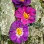 Drei Filzblüten am Moosstein