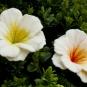 Zwei weiße Filzblüten am Buchs