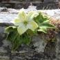 Innisfallen Blüte und Blätter