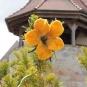 Gelbe Filzblüte