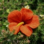 Rostrote Filzblüte