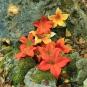 Orange Blüten am Fels