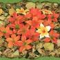 Orange Blüten im Herbstlaub