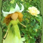 Sommerelfchen bei der Rose