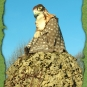 Falkenmaske